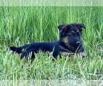 Puppy 2 German Shepherd Dog