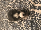 Siberian Husky Puppy For Sale in WICHITA, KS,