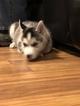 Small #16 Siberian Husky