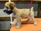 Small #7 Soft Coated Wheaten Terrier