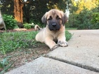Anatolian Shepherd Puppy For Sale in CHESTER, SC, USA