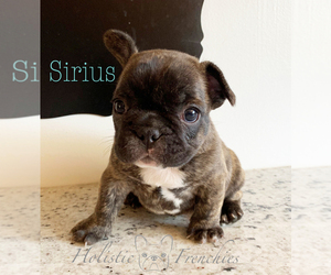 French Bulldog Puppy for sale in EUGENE, OR, USA