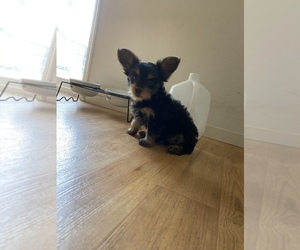 Yorkshire Terrier Puppy for Sale in HANFORD, California USA