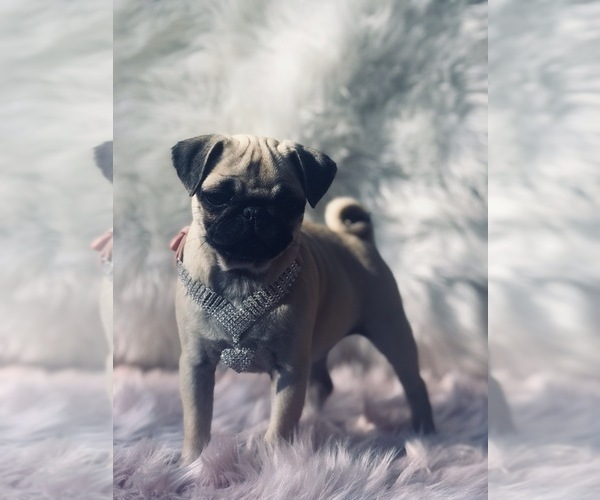 Medium Photo #16 Pug Puppy For Sale in CANTON, CT, USA