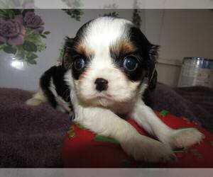 Cavalier King Charles Spaniel Puppy for sale in DETROIT, MI, USA