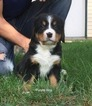 Bernese Mountain Dog Puppy For Sale in RICHLAND, MI, USA