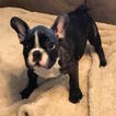 AKC French Bulldog Puppy