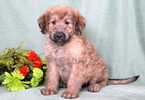 Shepadoodle Puppy For Sale in MOUNT JOY, PA, USA