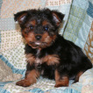 Chorkie-Yorkshire Terrier Mix Puppy For Sale in CEDAR PARK, TX, USA