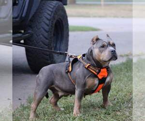 Mother of the American Bully puppies born on 10/12/2020