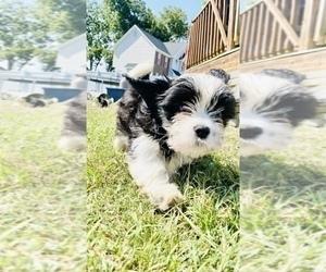 Cava-Tzu Puppy for Sale in FAYETTEVILLE, North Carolina USA