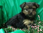 yorkie yorkshire terrier puppies 8 weeks Maryland