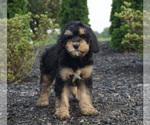 Puppy 11 Miniature Bernedoodle
