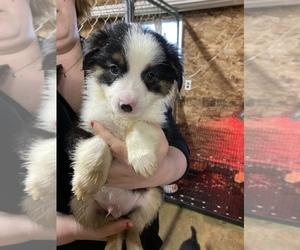 Australian Shepherd Puppy for sale in STURGIS, MI, USA