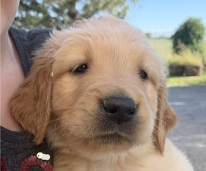 Golden Retriever Puppy for sale in STANBERRY, MO, USA