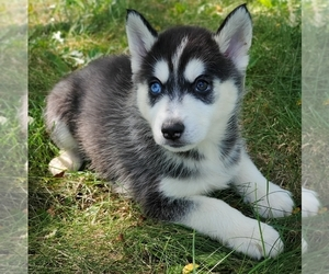 Siberian Husky Dog for Adoption in WARREN, Massachusetts USA