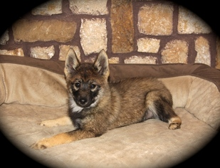 Pomsky Puppy For Sale in KRUM, TX, USA