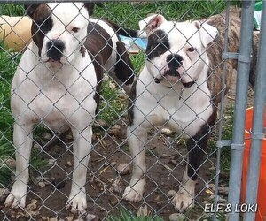 Father of the American Bulldog puppies born on 08/11/2019