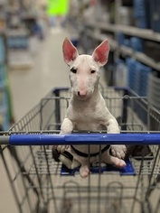 Bull Terrier Puppy For Sale in JACKSON, MI, USA