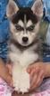 Kolu Huskies Similar to The Klee Kai And Pomsky
