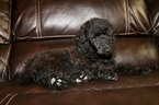 Poodle (Miniature) Puppy For Sale in GLENDALE, AZ, USA