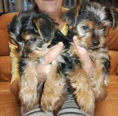 Yorkshire Terrier Puppy for sale in GRANDIN ROAD, VA, USA