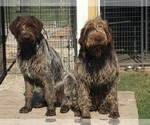 Small #19 German Wirehaired Pointer