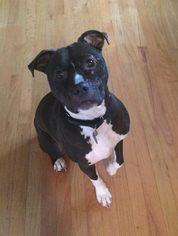 Maverick - American Pit Bull Terrier / Mixed (short coat) Dog For Adoption