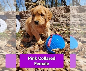 Golden Retriever Puppy for sale in EAU CLAIRE, WI, USA