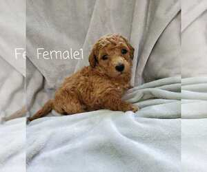 Goldendoodle (Miniature) Puppy for Sale in KISSIMMEE, Florida USA