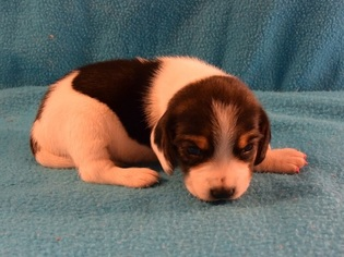 Beagle dogs for adoption in melbourne florida