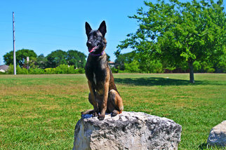 Belgian Malinois Puppy For Sale in LEANDER, TX