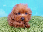 Poodle (Toy) Puppy For Sale in LAS VEGAS, NV, USA