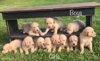 Golden Retriever Puppy For Sale in RICHWOOD, OH