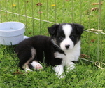 Puppy 6 Miniature American Shepherd