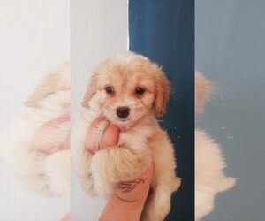 Maltipoo-Poodle (Standard) Mix Puppy for sale in TULARE, CA, USA