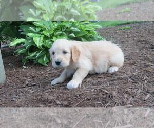 Goldendoodle Puppy for Sale in PORT TREVORTON, Pennsylvania USA