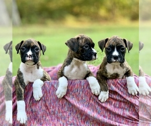 Boxer Puppy for sale in ELDON, MO, USA
