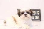 Shih Tzu Puppy For Sale in NAPLES, FL