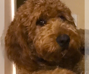 Father of the Goldendoodle puppies born on 03/30/2020