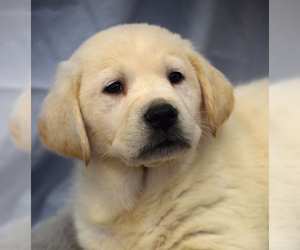 Labrador Retriever Puppy for Sale in SENECA, Kansas USA