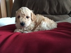 Poodle (Miniature) Puppy For Sale in PINE CITY, MN, USA