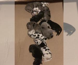 Great Dane Puppy for sale in PORT RICHEY, FL, USA