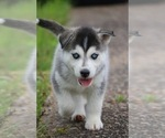 Small #11 Labrador Retriever-Siberian Husky Mix