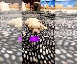 Puppy 4 Bichon Frise