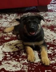 German Shepherd Dog Puppy For Sale in NEWALLA, OK, USA