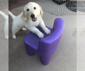 Golden Retriever Puppy for sale in THOUSAND OAKS, CA, USA