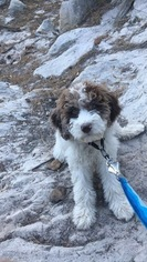Goldendoodle-Poodle (Standard) Mix Puppy For Sale in COLORADO SPRINGS, CO, USA