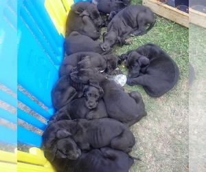 Great Dane Puppy for sale in PIERSON, MI, USA