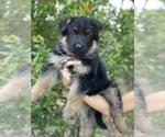 Puppy 5 German Shepherd Dog
